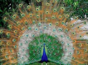occhi di pavone...